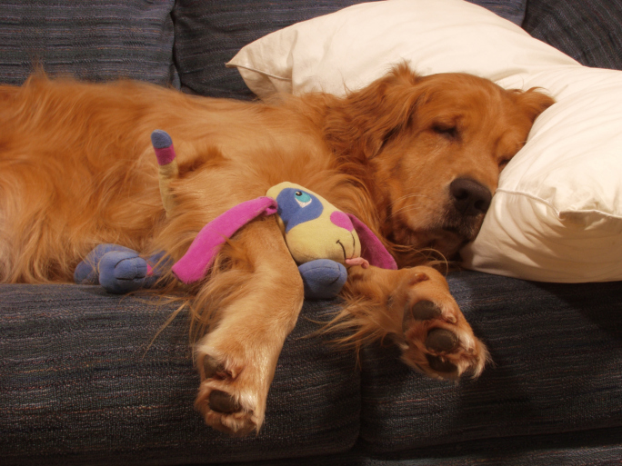 Golden Retriever Sleeping with a Toy